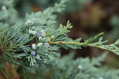 Juniperus 'Hermit' (Hermit Juniper), cone, mature