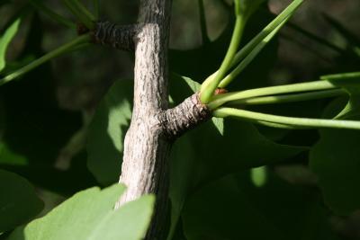 Ginkgo biloba (Ginkgo), bark, twig