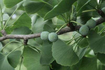 Ginkgo biloba (Ginkgo), seed, immature