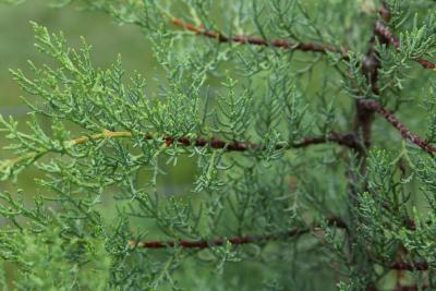 Hesperocyparis bakeri (Modoc Cypress), leaf, summer