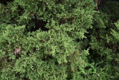 Juniperus ×pfitzeriana 'Armstrongii' (Armstrong Pfitzer Juniper), leaf, summer