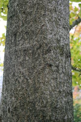 Ginkgo biloba 'PNI 2720' PP2726 (PRINCETON SENTRY® Ginkgo), bark, branch