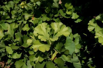 Ginkgo biloba 'Spring Grove' (Spring Grove Ginkgo), leaf, summer