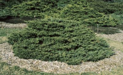 Juniperus ×pfitzeriana 'Kallay's Compact' (Kallay's Compact Pfitzer Juniper), habit, spring