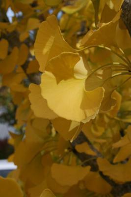 Ginkgo biloba 'PNI 2720' PP2726 (PRINCETON SENTRY® Ginkgo), leaf, fall