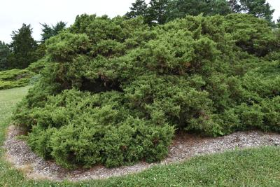 Juniperus ×pfitzeriana 'Armstrongii' (Armstrong Pfitzer Juniper), habit, summer