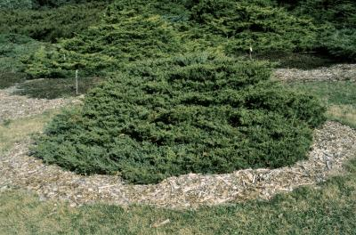 Juniperus ×pfitzeriana 'Wilhelm Pfitzer' (Wilhelm Pfitzer Juniper), habit, spring