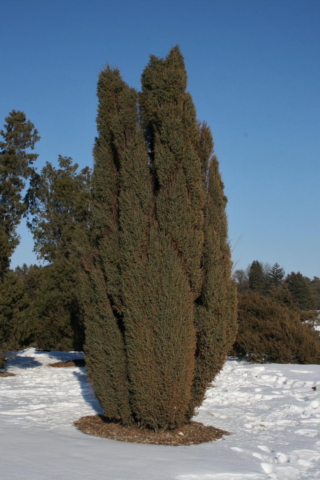 Juniperus communis 'Ashfordii' (Ashford Common Juniper), habit, winter