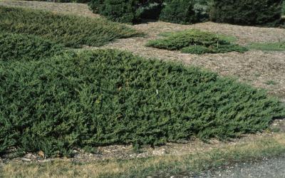 Juniperus chinensis var. sargentii (Sargent's Juniper), habit, spring