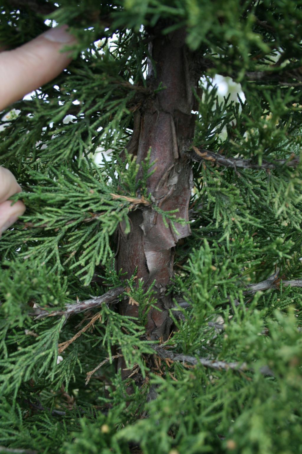 Juniperus chinensis 'Perfecta' (Perfecta Chinese Juniper), bark, trunk