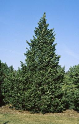 Juniperus chinensis 'Fairview' (Fairview Chinese Juniper), habit, spring