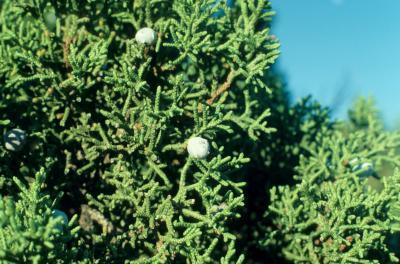 Juniperus osteosperma (Utah Juniper), leaf, summer