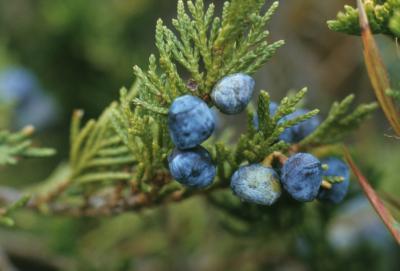 Juniperus horizontalis (Trailing Juniper), cone, mature