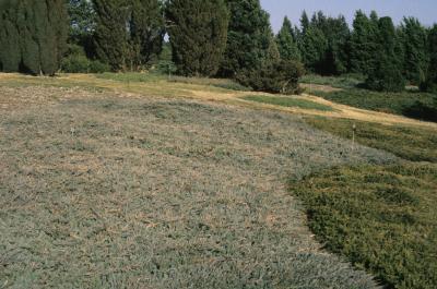 Juniperus horizontalis 'Hughes' (Hughes Trailing Juniper), habit, spring
