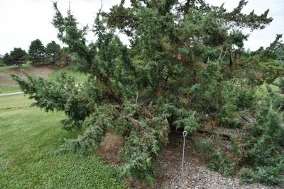Juniperus oxycedrus (Prickly Juniper), habit, summer