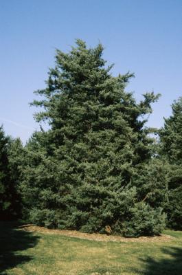 Juniperus virginiana 'Glauca' (Blue Eastern Red-cedar), habit, spring
