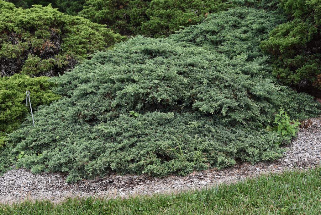 Juniperus virginiana 'Silver Spreader' (Silver Spreader Eastern Red-cedar), habit, summer
