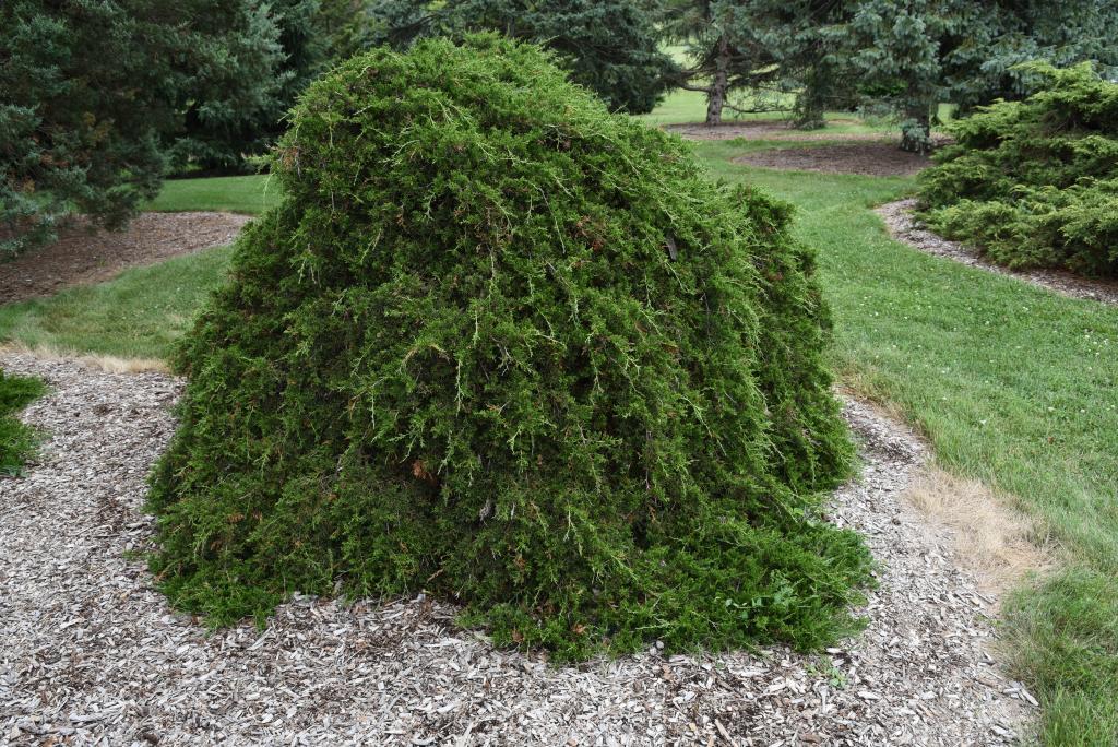 Juniperus virginiana 'Pendula' (Weeping Eastern Red-cedar), habit, summer
