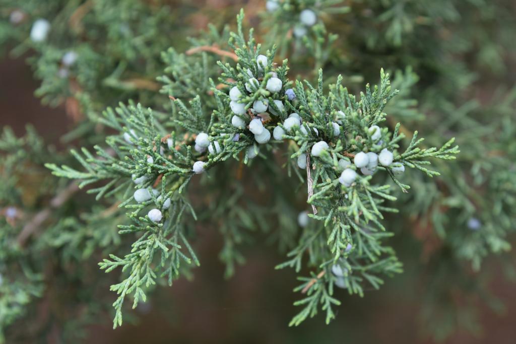 Juniperus virginiana var. virginiana (Eastern Red-cedar), cone, immature