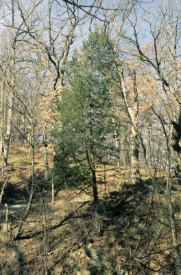 Juniperus virginiana var. virginiana (Eastern Red-cedar), habitat