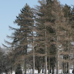Larix decidua (European Larch), habit, winter