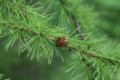 Larix laricina (Tamarack), cone, mature