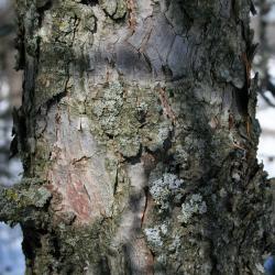 Quercus bicolor (swamp white oak), habit, winter