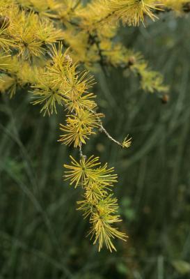 Larix laricina (Tamarack), leaf, fall