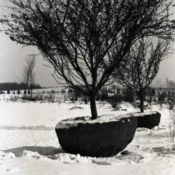 Crabapples being transplanted with frozen balls