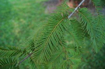 Metasequoia glyptostroboides (Dawn-redwood), leaf, summer