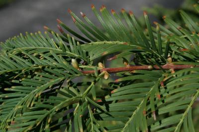 Metasequoia glyptostroboides (Dawn-redwood), bud, lateral