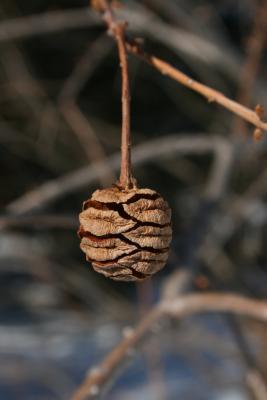 Metasequoia glyptostroboides (Dawn-redwood), cone, mature