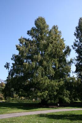 Metasequoia glyptostroboides (Dawn-redwood), habit, fall
