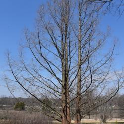 Metasequoia glyptostroboides (Dawn-redwood), habit, winter