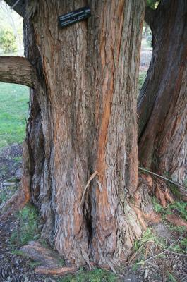 Metasequoia glyptostroboides (Dawn-redwood), bark, trunk