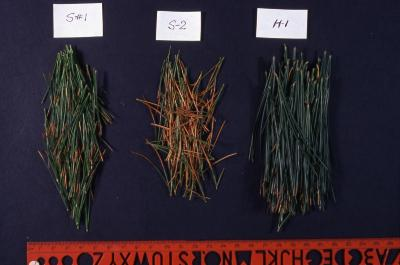 Salt Study, comparison of three pine needle samples from S1, S2, and H1