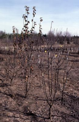 Young trees planted in nursery in early spring