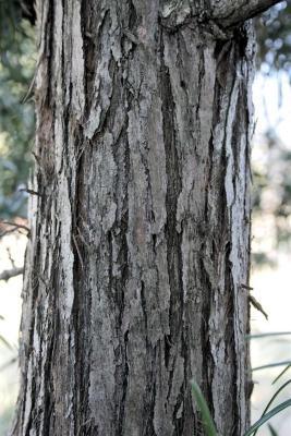 Sciadopitys verticillata (Japanese Umbrella-pine), bark, trunk