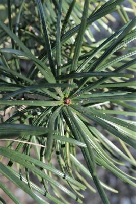 Sciadopitys verticillata (Japanese Umbrella-pine), leaf, winter