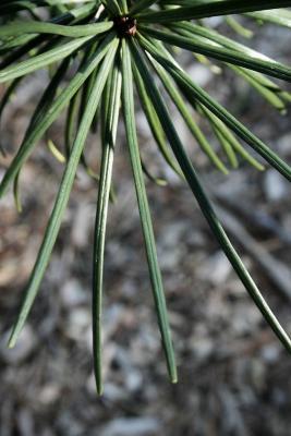 Sciadopitys verticillata (Japanese Umbrella-pine), leaf, upper surface