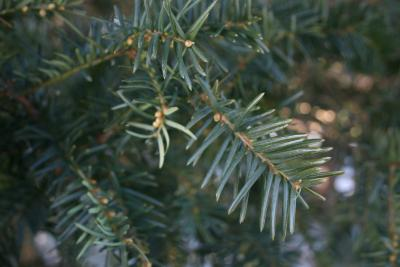 Taxus ×media 'Brownii' (Browns Anglo-Japanese Yew), leaf, mature