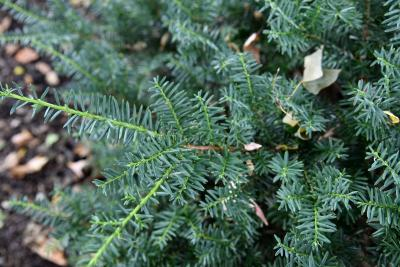Taxus ×media 'Everlow' (Everlow Anglo-Japanese Yew), leaf, summer