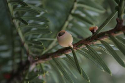 Taxus ×media 'Green Wave' (Green Wave Anglo-Japanese Yew), cone, immature