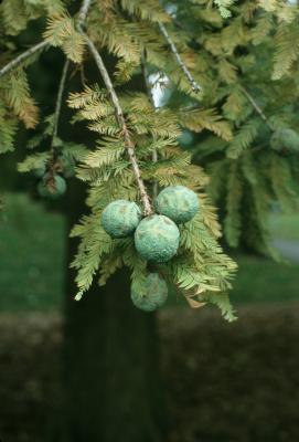 Taxodium distichum (Bald-cypress), cone, immature