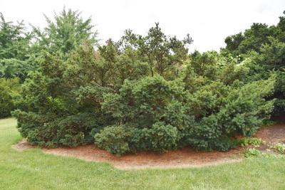 Taxus ×media 'Farmen' (Farmen Anglo-Japanese Yew), habit, summer