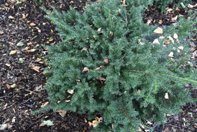 Taxus ×media 'Everlow' (Everlow Anglo-Japanese Yew), habit, summer