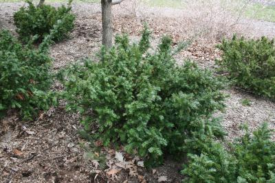 Taxus ×media 'Berg' (Berg Anglo-Japanese Yew), habit, spring