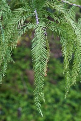 Taxodium distichum (Bald-cypress), leaf, summer