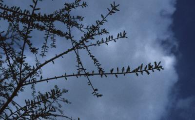 Taxodium distichum (Bald-cypress), bark, twig