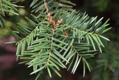 Taxus ×media 'Brownii' (Browns Anglo-Japanese Yew), leaf, summer
